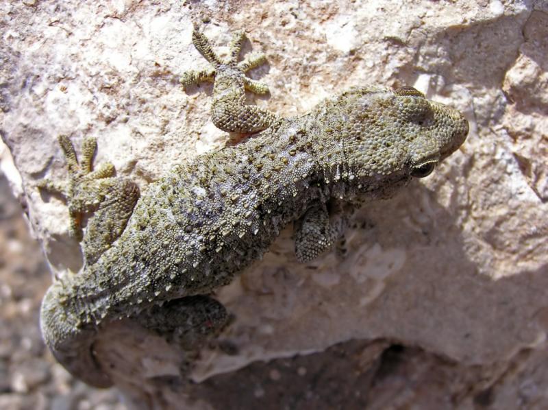 Name:  gecko.jpg Hits: 126 Größe:  91,5 KB